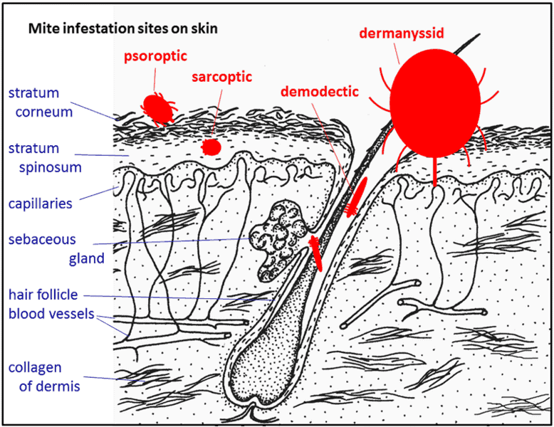 Mites sites of infestation in skin