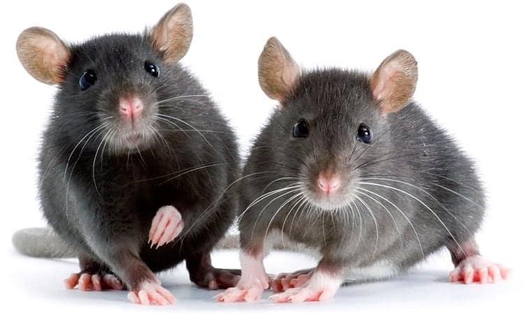 Fancy Rats as a pet