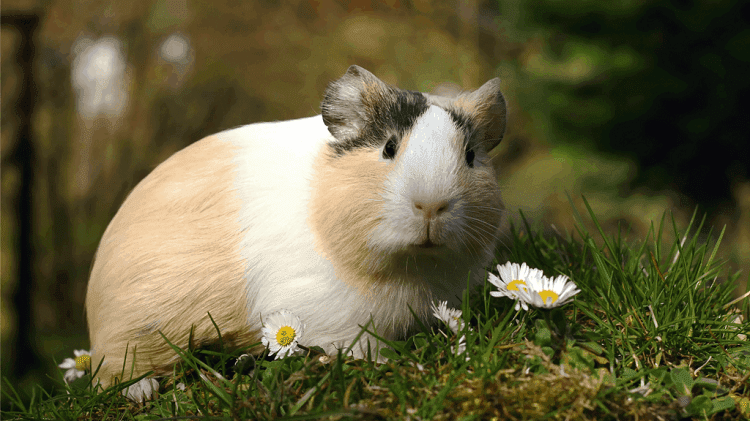 Guinea Pigs as a pet