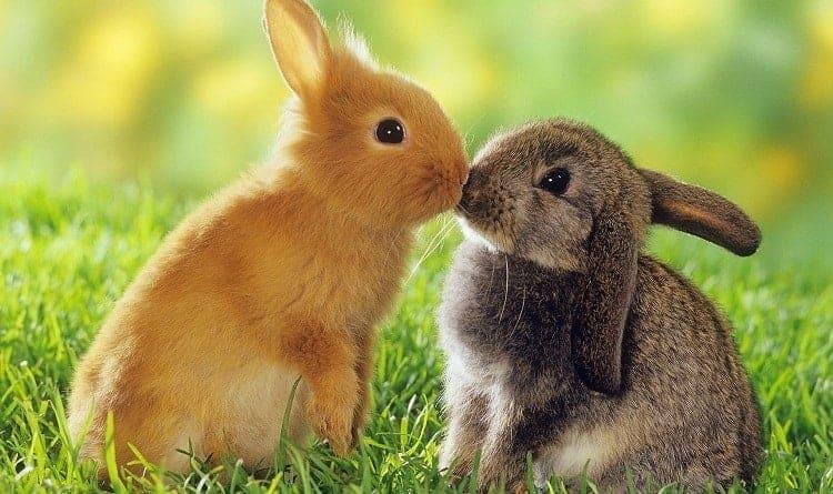 Rabbits as a pet