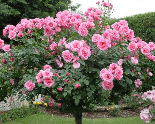 Standout Patio Roses